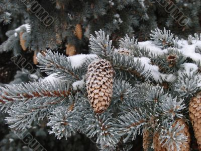 Snow-covered fur-tree branch with cones
