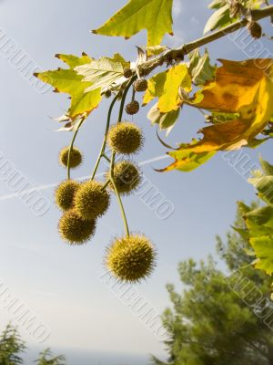Freakish prickly round fruits