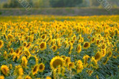 Sonnenblume | sunflowers