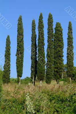 7 zypresse | 7 cypresses