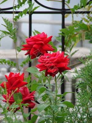 Blooming scarlet red rose flower