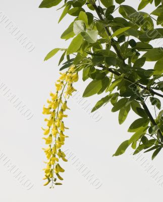 Flowers of an acacia