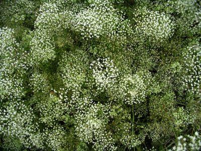 Field herb