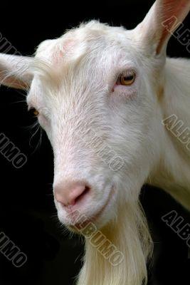ziege | goat