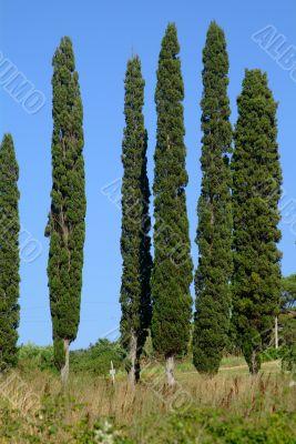zypresse 6 | 6 cypresses