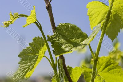 Leaves of grape
