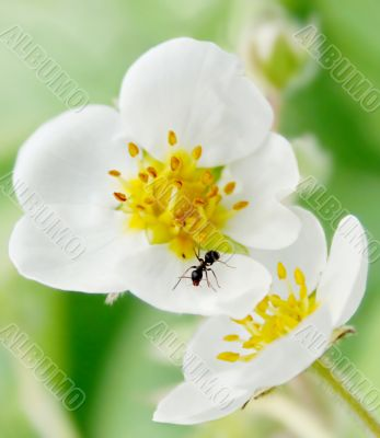 ant and flower of the strawberries