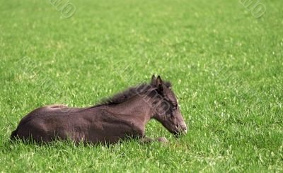 foal rests upon herb