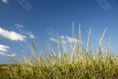 Seagrass on a sandune