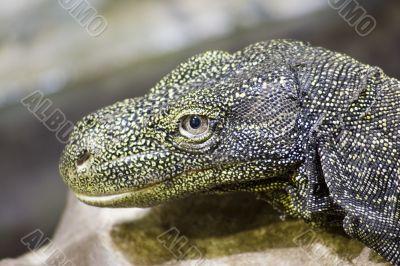 Crocodile monitor