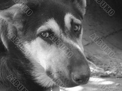 Black and white sad dog