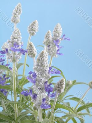 fres aromatic bunch of sage