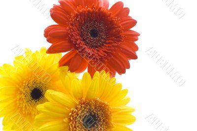 Three daisy
