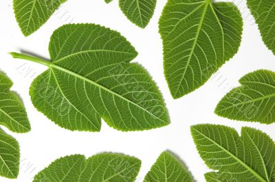 Green leafs isolated in a white background