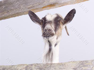 Ridiculous goat