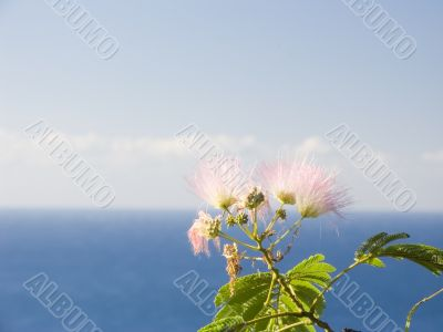 Flower of a pink acacia