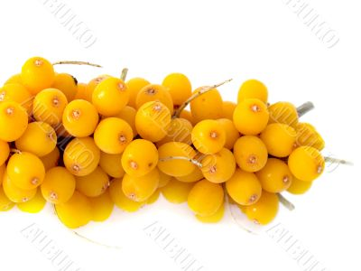 Branch of a berry of sea-buckthorn