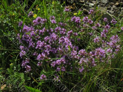 thyme herbal plants