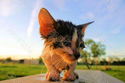 wet unhappy cat