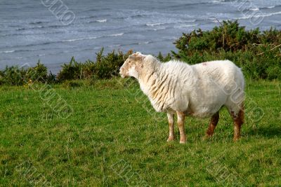 a sheep on green