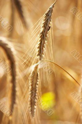Grain is quite ripe