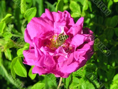 pinkrose and bee