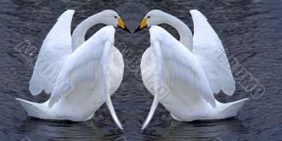 Swan couple romance