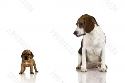 Beagle mom and a brown puppy