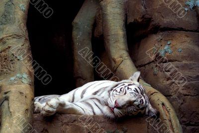 sleping tiger