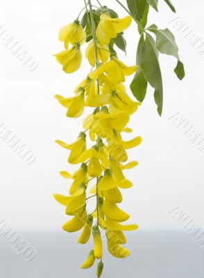 Flower of a yellow acacia