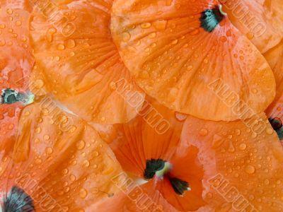Petals of a poppy