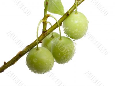 Fruits green plums with drops of a rain