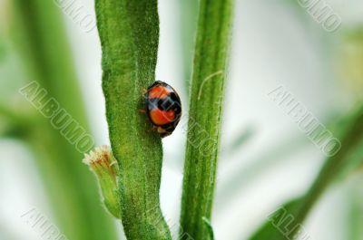 Ladybird walking on stem