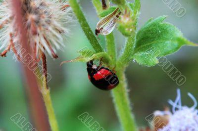 Ladybird hiding under a small leaf