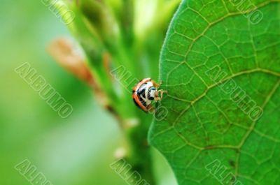 Ladybird standing on edge of leaf