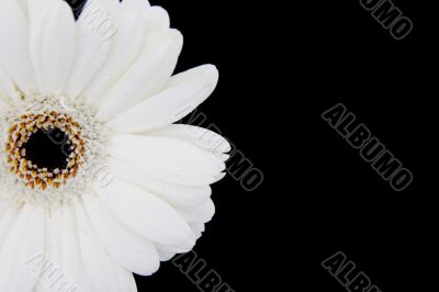 white gerbera with copyspace