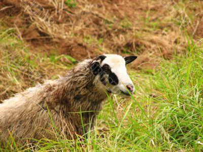 An ewe eating green grass