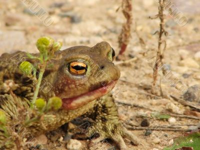 A marsh toad