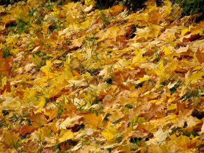Background from colored autunm leaves on the land