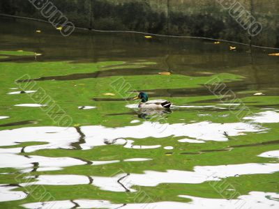 A duck swimming on water surface