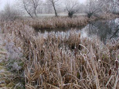 Wintry pond with cane covered with hoarfrost