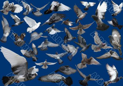 Isolated Pigeons of huge flight