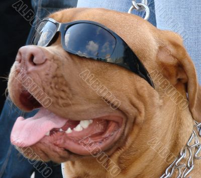Brown dog muzzle with sunglasses
