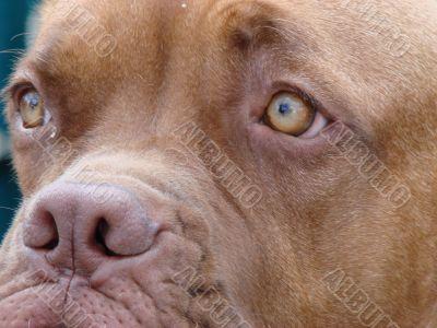 Brown dog muzzle