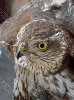 Wild Bird`s dangerous glance