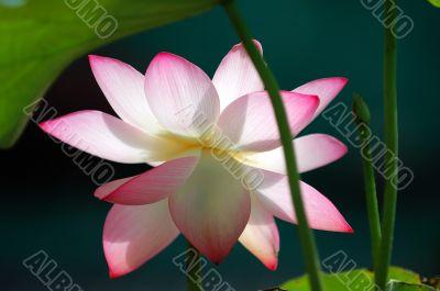 Lotus flower under sun light