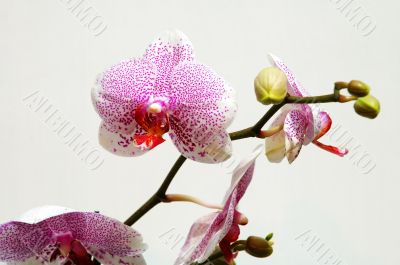 Pink spot orchid