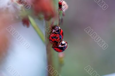 The mating ladybirds
