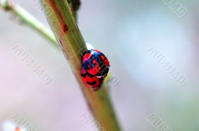 Romantic scene of mating ladybirds