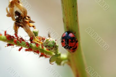 Mating ladybirds and red aphids